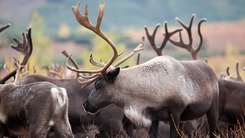 Woodland caribou (Rangifer tarandus caribou), boreal and southern mountain populations, are currently listed as threatened in Canada.